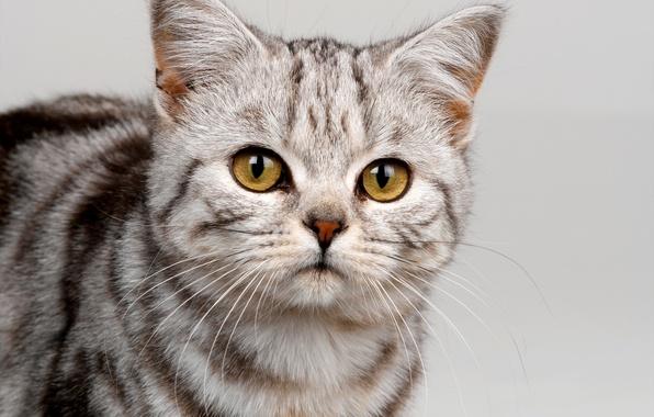 Картинка кошка, глаза, кот, усы, взгляд, морда, полосы, серый, желтые, окрас