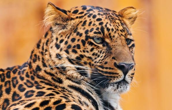 Картинка усы, морда, портрет, леопард, лежит, leopard, серьёзный