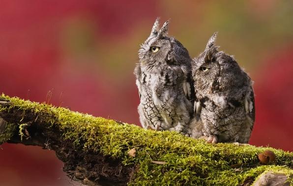 Картинка птицы, фон, две, мох, ветка, совы
