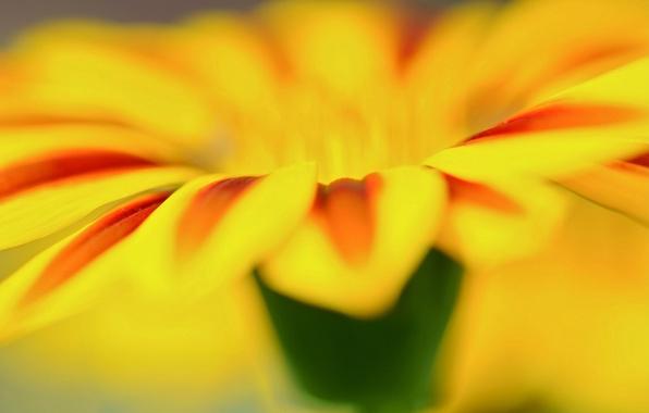 Картинка цветок, макро, цветы, желтый, фон, widescreen, обои, лепесток, wallpaper, flower, широкоформатные, background, macro, полноэкранные, HD …