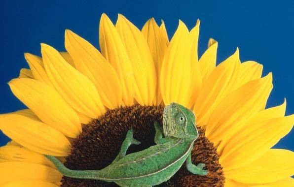 Картинка Цветы, подсолнух, ящерица