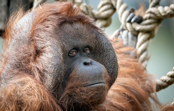 Картинка природа, поза, обезьяна, примат, орангутанг