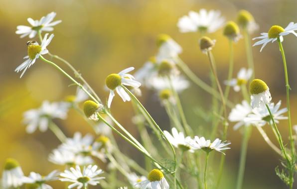 Картинка зелень, лето, трава, солнце, свет, цветы, природа, тепло, стебли, цвет, ромашки, растения, лепестки, размытость, белые