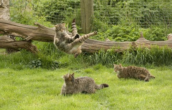 Картинка трава, игры, дикая кошка, кунг-фу, Шотландская, The Scottish Wildcat