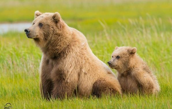 Картинка трава, медведи, Аляска, медвежонок, Alaska, детёныш, медведица, Lake Clark National Park
