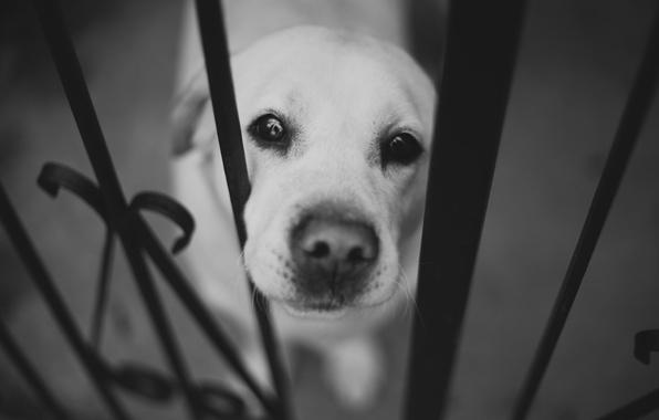 Картинка морда, забор, собака, нос, черно-белое, лабрадор