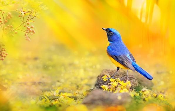 Картинка макро, синий, желтый, ягоды, птица, ветка, лепестки, фотограф, Тайвань, боке, солнечный свет, красочная, яркая, FuYi …