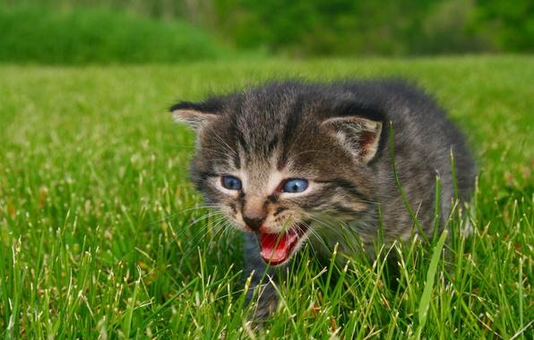 Картинка зелень, животные, трава, глаза, природа, котенок, фото, голубые, Calling for Mommy, шипение, зов к маме