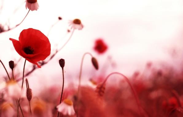 Картинка поле, Маки, красные цветы