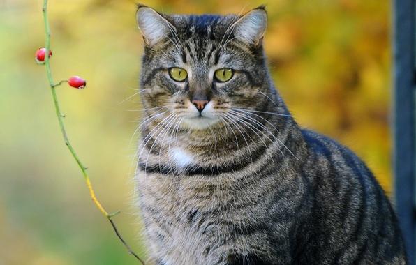 Картинка кот, ягоды, ветка, полосатый, котэ
