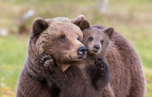 Фото обои лето, медведи, природа