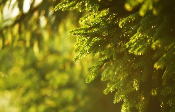 Картинка лето, солнце, лучи, закат, природа, дерево, ель
