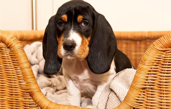 Картинка взгляд, корзина, щенок, уши