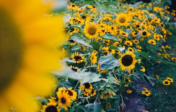 Картинка поле, листья, подсолнухи, цветы, природа, фон, widescreen, обои, подсолнух, wallpaper, листочки, цветочки, широкоформатные, background, полноэкранные, ...