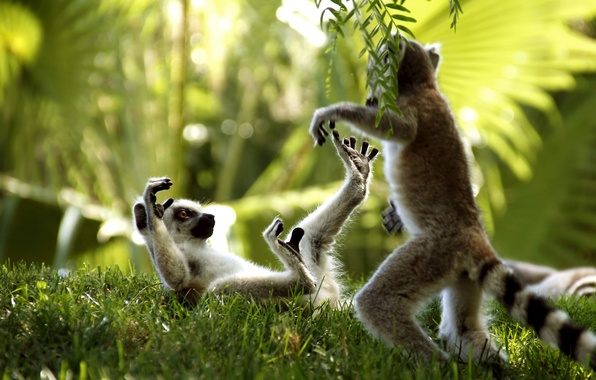 Картинка трава, лемуры, играют