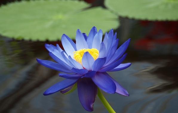 Картинка цветок, листья, вода, пруд, голубой, лотос, кувшинка, водяная лилия