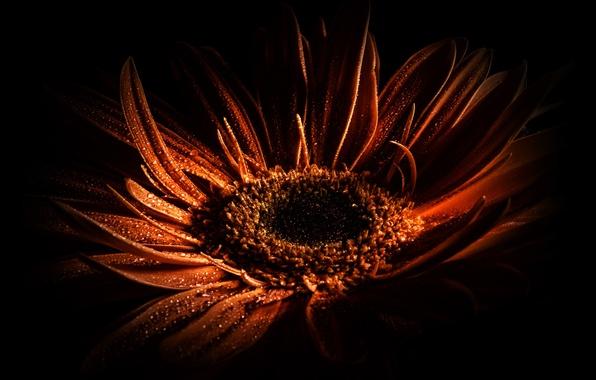 Картинка цветок, цвета, капли, макро, свет, цветы, оранжевый, красный, черный, цвет, капля, тень, тени, цветение, цветной