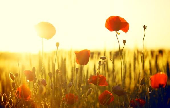 Картинка поле, солнце, цветы, красный, фон, widescreen, обои, мак, маки, wallpaper, цветочки, широкоформатные, flowers, background, полноэкранные, …