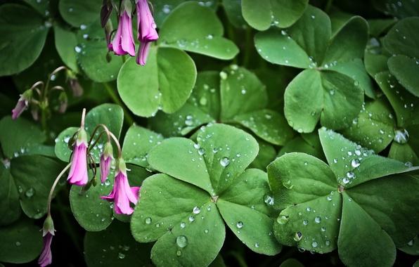Картинка листья, цветы, роса, растение, розовые, капли воды