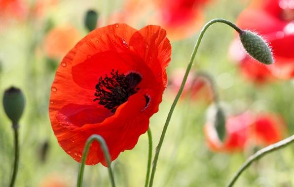 Картинка цветок, лето, капли, макро, мак, ярко