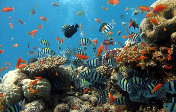 Обои картинки фото рыбы, море, океан, кораллы, рыбки