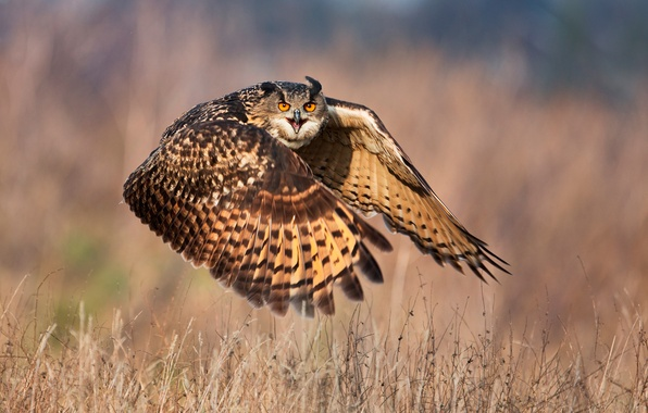 Картинка взгляд, сова, полёт