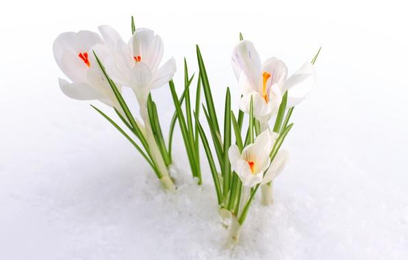 Картинка снег, природа, весна, крокус