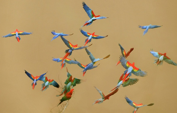 Фото обои цвет, птицы, небо, полет, попугай