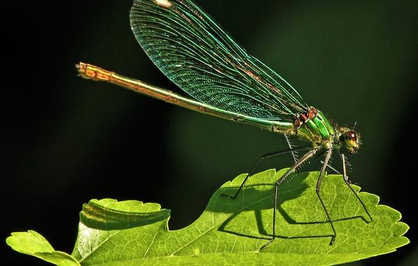 Картинка природа, лист, стрекоза, насекомое