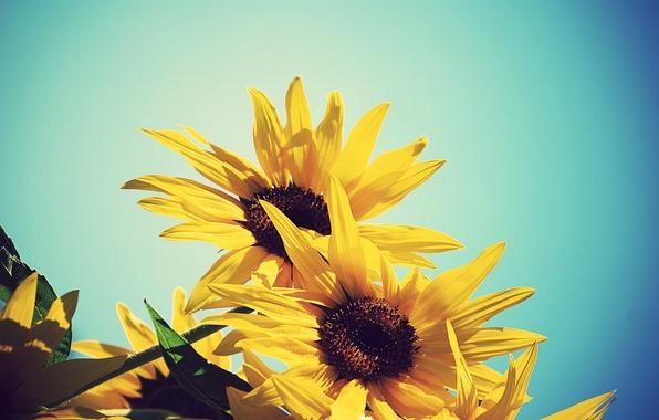 Картинка лето, небо, подсолнухи, цветы, желтый, подсолнух, синее