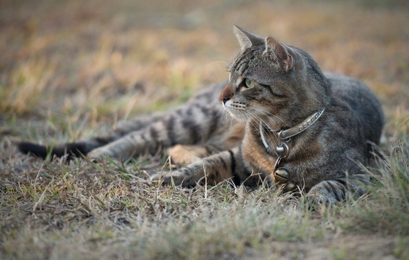 Картинка кошка, трава, кот, взгляд, серый, ошейник