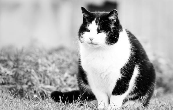 Картинка кот, взгляд, киска, котэ, черно-белые