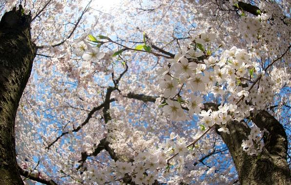 Картинка солнце, свет, цветы, ветки, природа, ветви, стволы, весна, Вишня, цветение