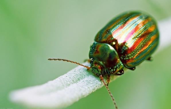 Картинка макро, зеленый, жук, насекомое, золотистый