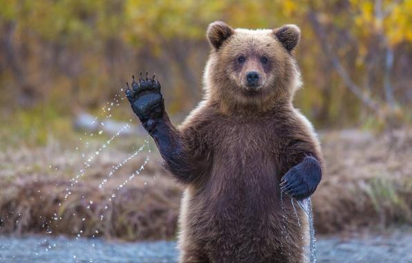 Картинка медвежонок, привет, аляска, гризли