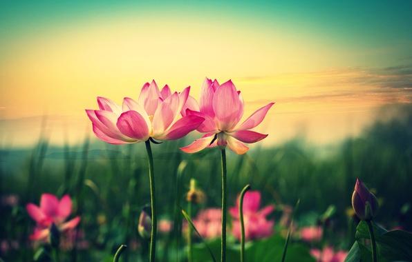 Картинка цветы, зеленый, фон, розовый, widescreen, обои, размытие, лепестки, стебель, wallpaper, цветочки, широкоформатные, background, полноэкранные, HD …