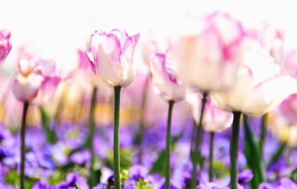 Картинка свет, цветы, природа, стебли, поляна, нежность, растения, весна, размытость, фиолетовые, тюльпаны, розовые, белые, бутоны, сиреневые