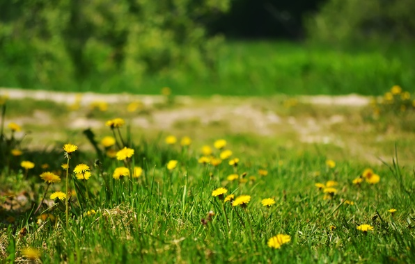 Картинка лето, трава, цветы, природа, одуванчики