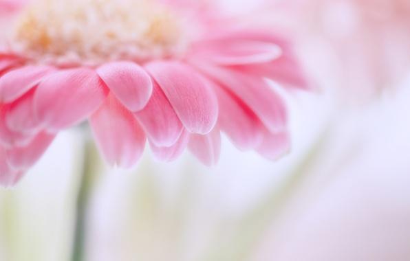 Картинка цветок, макро, розовый, фокус, лепестки, размытость, нежно, гербера