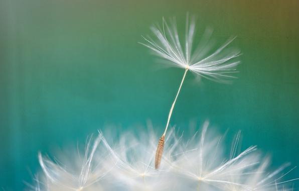 Картинка цветок, природа, одуванчик, былинка