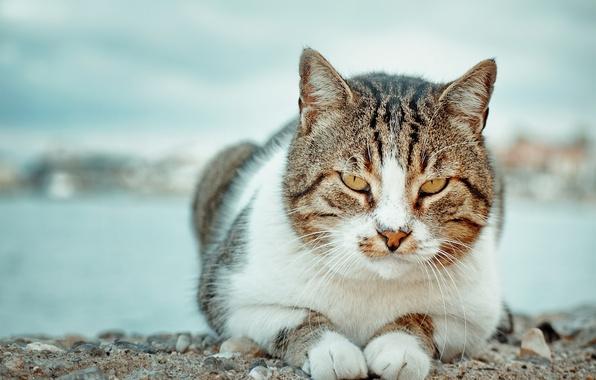 Картинка кот, взгляд, портрет, котофей