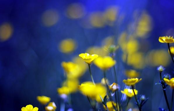 Картинка цветы, синий, фон, желтые, yellow, blue, flowers, background, Лютики, buttercups