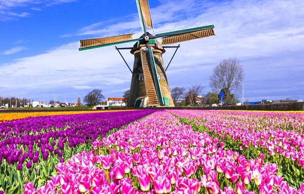 Картинка поле, мельница, тюльпаны, Нидерланды, разноцветные, Keukenhof, Lisse