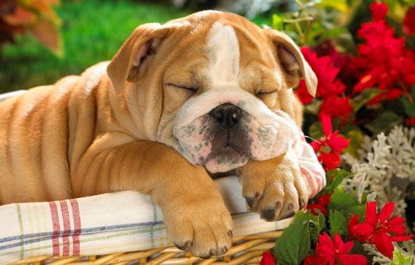 Картинка корзина, собака, щенок, английский бульдог