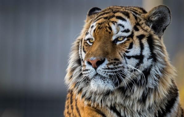 Картинка морда, тигр, портрет, красавец, Амурский тигр