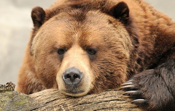 Картинка морда, природа, сила, отдых, красота, медведь, когти, бревно, bear, brown, боке, бурый, wallpaper., думает