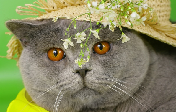 Картинка кошка, глаза, кот, морда, цветы, серый, шляпа, желтые, cat, британский, британец