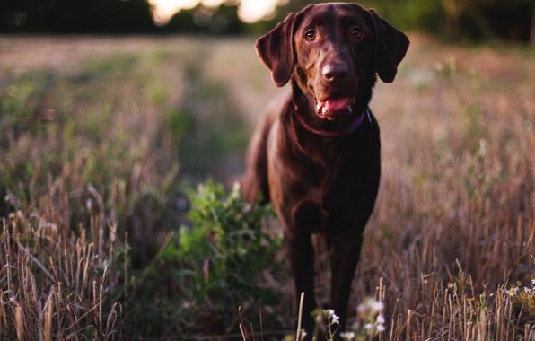 Картинка глаза, морда, собака, нос, пес, Лабрадор ретривер