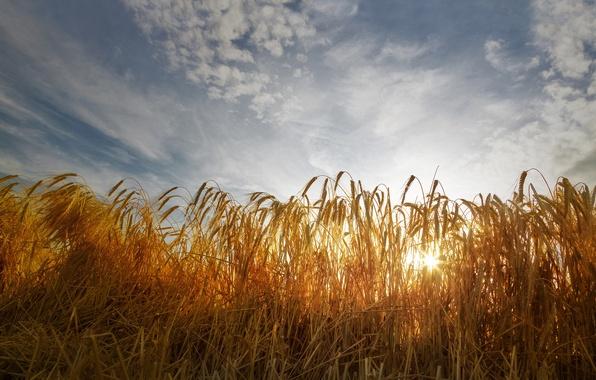 Картинка пшеница, поле, небо, облака, колосья, солнечный свет