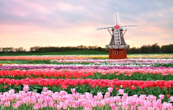 Картинка поле, цветы, весна, мельница, тюльпаны, розовые, Голландия